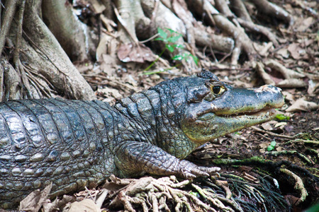 spectacled: Spectacled Caiman (Caiman Crocodilus Crocodilus)