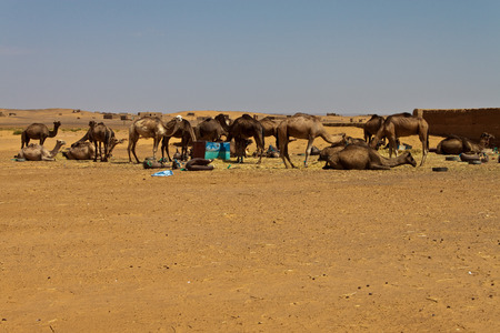 erg: Camels in desert at Erg Chebbi, Morocco