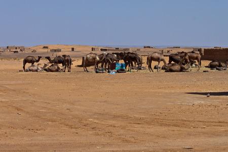 erg chebbi: Camels in desert at Erg Chebbi, Morocco