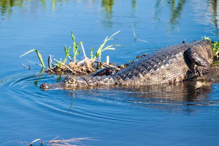corrientes: Yacare caiman (Caiman yacare)  in Esteros del Ibera, Argentina