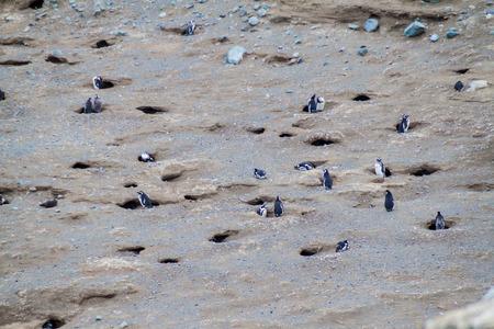 magdalena: Magellan penguin colony on Isla Magdalena island, Chile