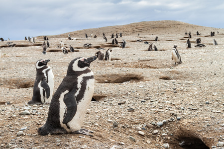 penguin colony: Penguin colony on Isla Magdalena island in Magellan Strait, Chile