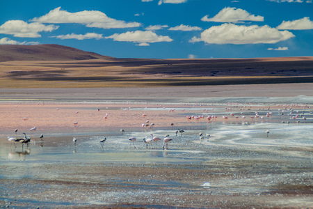 laguna: Flamingos in Laguna Colorada lake in Bolivia