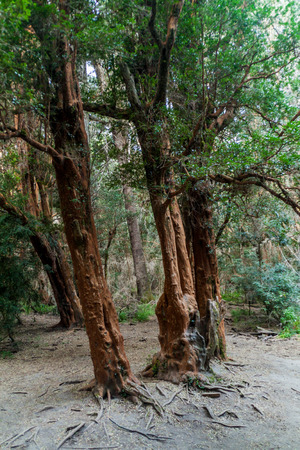 chilean: View of a forest of Arrayan trees (Luma apiculata - Chilean Myrtle) near Bariloche, Argentina