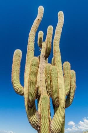 tenacious: Big cardon cactus near Quilmes ruins, Argentina