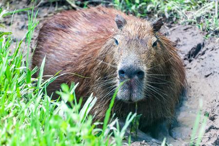 furred: Capybara (Hydrochoerus hydrochaeris)  in Esteros del Ibera, Argentina