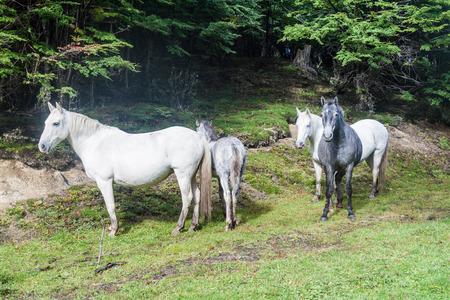 fuego: Horses in National Park Tierra del Fuego, Argentina