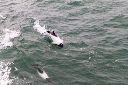 strait of magellan: Commersons dolphin (Cephalorhynchus commersonii) in Magellan Strait, Chile