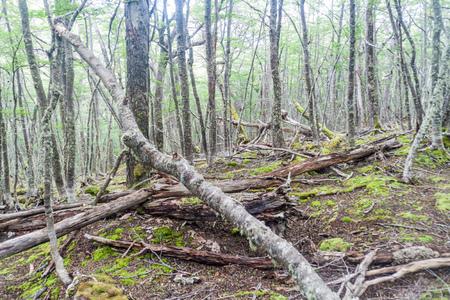 tierra del fuego: Forest in Tierra del Fuego, Argentina