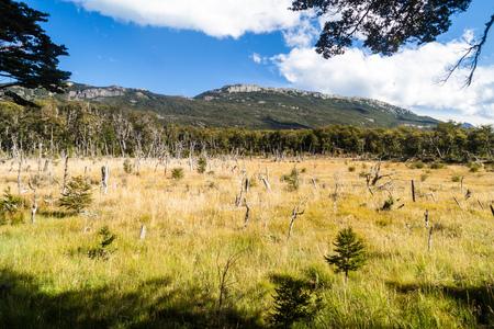 tierra: Dead forest in National Park Tierra del Fuego, Argentina Stock Photo