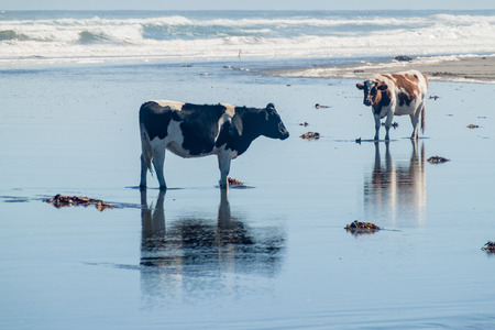 sea weed: Cows eat a sea weed on a beach in Chiloe National Park, Chile