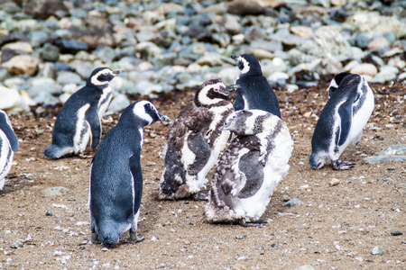 magdalena: Penguin colony on Isla Magdalena island in Magellan Strait, Chile