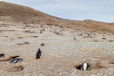 penguin colony: Magellanic Penguin colony on Isla Magdalena island in Magellan Strait, Chile Stock Photo