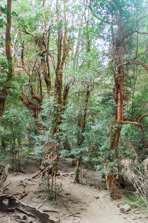 myrtle green: View of a forest of Arrayan trees (Luma apiculata - Chilean Myrtle) near Bariloche, Argentina