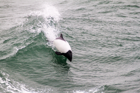 magellan: Commersons dolphin (Cephalorhynchus commersonii) in Magellan Strait, Chile