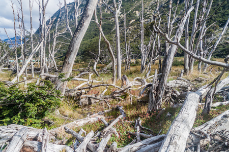 humid south: Dead forest (caused by beavers) in Tierra del Fuego, Argentina