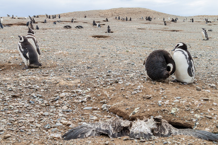 ornitology: Penguin colony on Isla Magdalena island in Magellan Strait, Chile