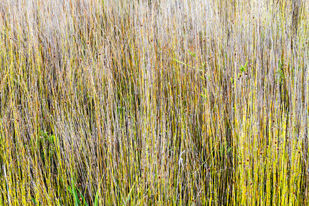 national plant: Apodasmia chilensis plant (member of family  Restionaceae) in National Park Chiloe, Chile Stock Photo