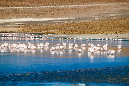 Flamingos in Laguna Collpa lake in Reserva Nacional de Fauna Andina Eduardo Avaroa protected area, Bolivia