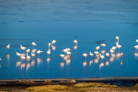 avaroa: Flamingos in Laguna Collpa lake in Reserva Nacional de Fauna Andina Eduardo Avaroa protected area, Bolivia