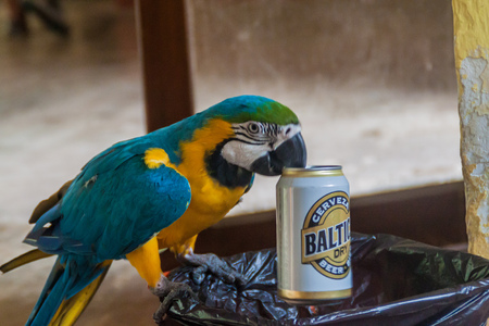 ararauna: RURRENABAQUE, BOLIVIA - MAY 2, 2015: Blue-and-yellow macaw (Ara ararauna) picks beer cans (Baltica brand) from the garbage bin and drinks the rests.