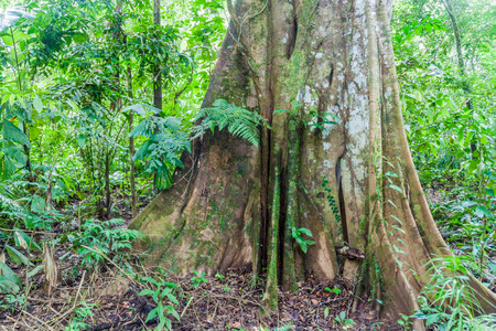humid south: Giant tree in National park Madidi, Bolivia