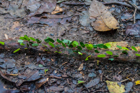 leaf cutter ant: Leafcutter ants in a jungle of National Park Madidi, Bolivia