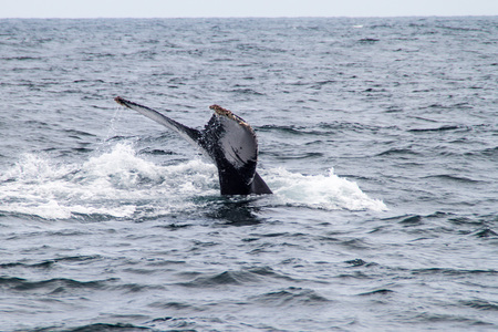 whaling: Humpback whale (Megaptera novaeangliae)  in Machalilla National Park, Ecuador