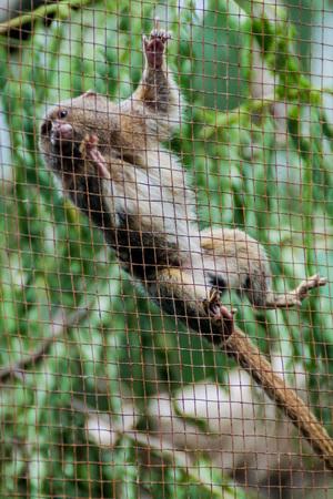 The pygmy marmoset (Cebuella pygmaea) in Amazon Animal Orphanage Pilpintuwasi in village Padre Cocha near Iquitos, Peru Stock Photo