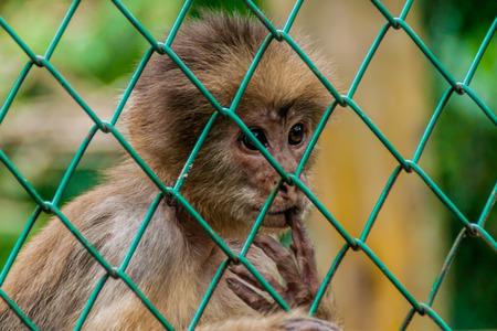 orphanage: Capuchin monkey in Amazon Animal Orphanage Pilpintuwasi in village Padre Cocha near Iquitos, Peru
