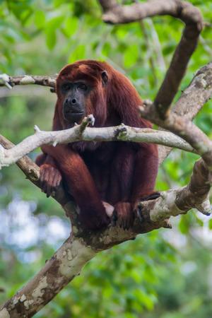 howler: Red howler monkey (Alouatta Seniculus) in Amazon Animal Orphanage Pilpintuwasi in village Padre Cocha near Iquitos, Peru