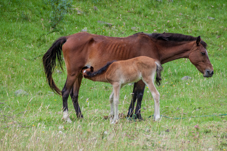 adult breastfeeding: Brown horse is breastfeeding a foal on the green lush meadow
