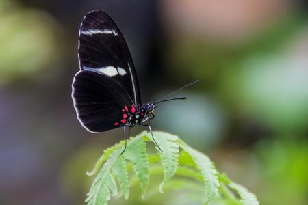 longwing: Eleuchia Longwing butterfly (Heliconius eleuchia) in Mariposario (The Butterfly House) in Mindo, Ecuador