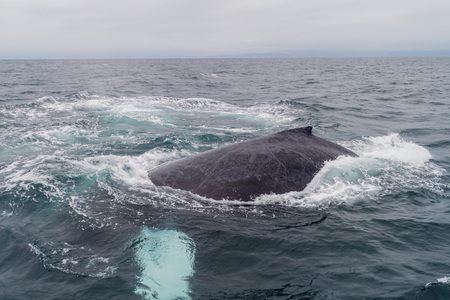 baleen whale: Humpback whale (Megaptera novaeangliae)  in Machalilla National Park, Ecuador