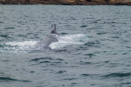 humpback whale: Humpback whale in Machalilla National Park, Ecuador