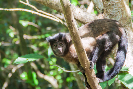 salut: Capuchin monkey at Ile Royale, one of the islands of Iles du Salut (Islands of Salvation) in French Guiana