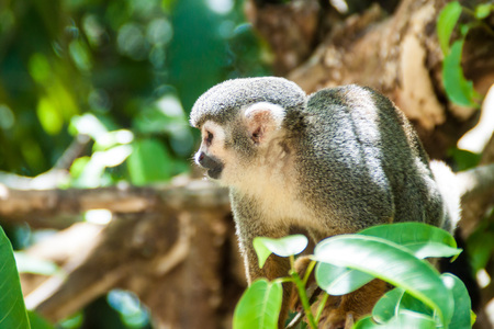 salut: Squirrel monkey at Ile Royale, one of the islands of Iles du Salut (Islands of Salvation) in French Guiana