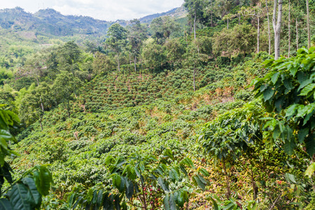 Coffee plantantion near Manizales, Colombia