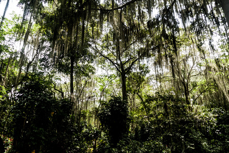 tillandsia: Trees covered by Spanish moss (Tillandsia usneoides) callled also Barba de Viejo (Old Mans Beard) in El Gallineral park in San Gil, Colombia Stock Photo