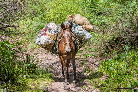 mule: Mule on a path in Chicamocha river canyon in Colombia Stock Photo