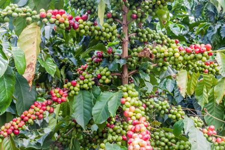 planta de cafe: Coffee plant on a plantation near Manizales, Colombia