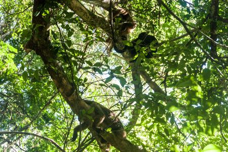 howler: Howler monkey or Caraya (Alouatta caraya)  in Esteros del Ibera, Argentina Stock Photo