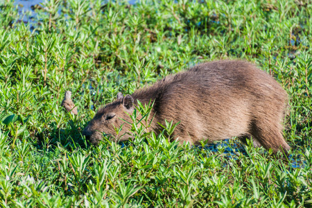 corrientes: Capybara (Hydrochoerus hydrochaeris)  in Esteros del Ibera, Argentina