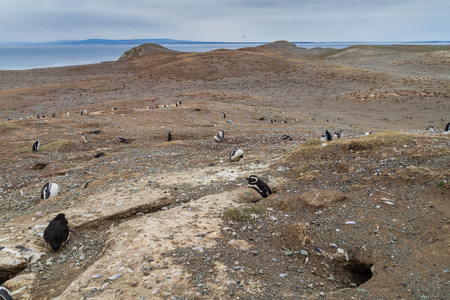 penguin colony: Magellan penguin colony on Isla Magdalena island, Chile