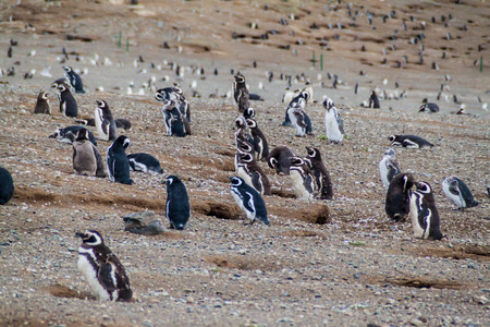strait of magellan: Colony of Magellanic Penguins (Spheniscus magellanicus) on Isla Magdalena in the Strait of Magellan, Chile. Stock Photo