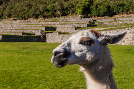 head stones: Friendly lama at Machu Picchu ruins, Peru
