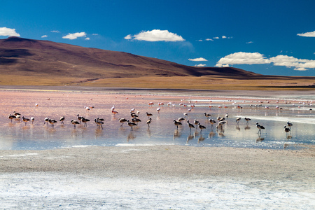 lipez: Flamingos in Laguna Colorada lake on bolivian Altiplano