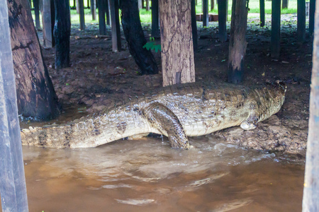 lurk: Caiman under the riverside tourist lodge on river Yacumo, used for Pampa animal watching tours, Bolivia.
