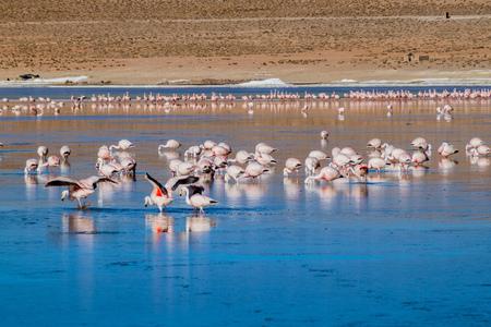 fauna: Laguna Collpa lake in Reserva Nacional de Fauna Andina Eduardo Avaroa protected area is full of flamingos, Bolivia Stock Photo