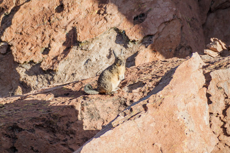 lipez: Southern viscacha (Lagidium viscacia) in the Sur Lipez desert, Bolivia